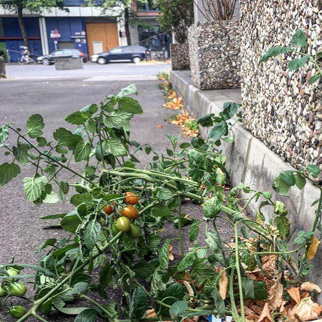 Wo die wilden Tomaten wachsen
